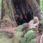 Fire-scarred redwood in Muir Woods