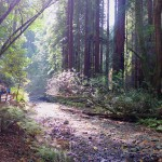 Spawning grounds on Redwood Creek in Muir Woods