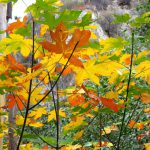 Bigleaf maple Fall color in Bear Canyon